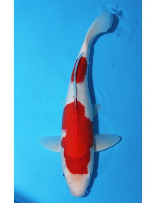 K465 - Kohaku