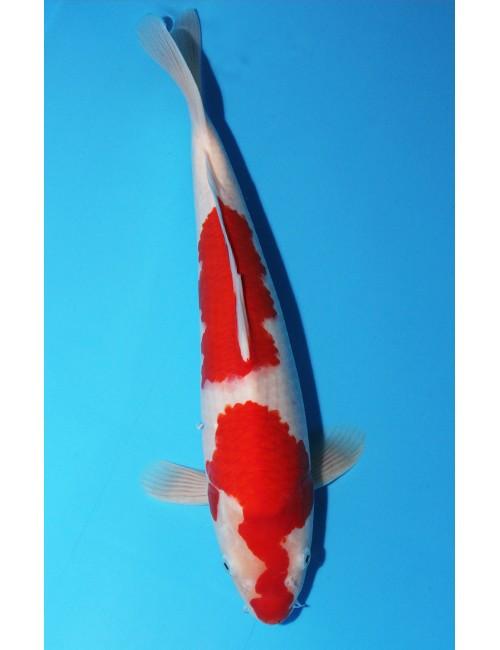 K466 - Kohaku