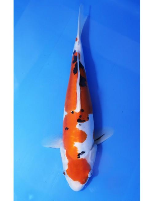K201 - Doitsu sanke