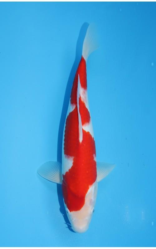 K251 - Kohaku