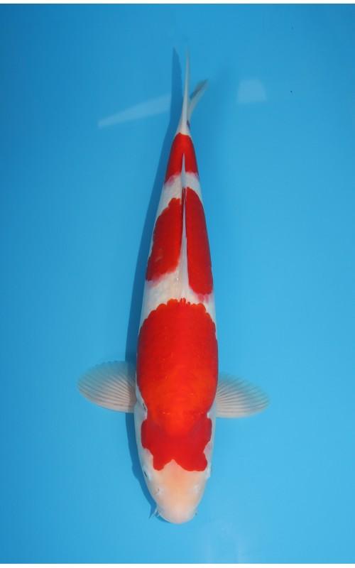 K177 - Kohaku
