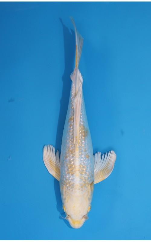 K273_05 - long fin hariwake