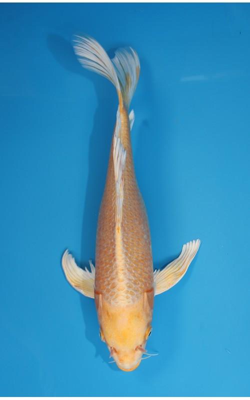K273_06 - long fin yamabuki