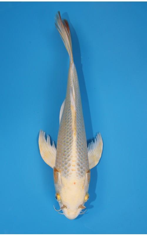 K273_07 - long fin kin matsuba