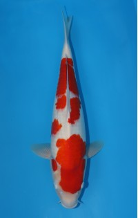 K145 - Kohaku