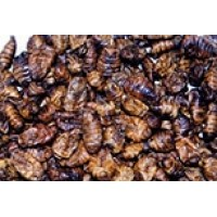 Silkworm popae 1kg