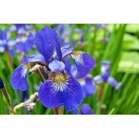 Iris Sibirica Blu