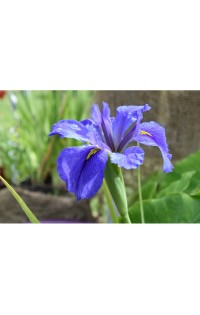 Iris Louisiana Blue