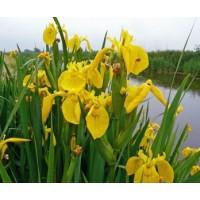 Iris Pseudacorus giallo